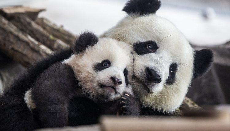 Panda-Getty.jpg