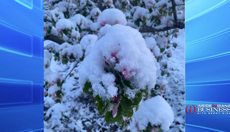 Snow-on-apple-buds.jpg